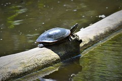 DSC_5025 (adamsdale616) Tags: northern color beauty nature animal wildlife outdoor waterfront wisconsin • dusk autumn golden water pond sky light new usa spring summer animals midwest colorful landscape nikon d7200 reflection detail closeup turtles turtle