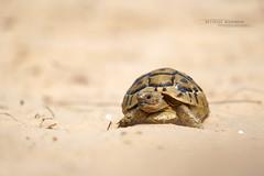 Testudo graeca floweri (Matthieu Berroneau) Tags: sony alpha ff 24x36 macro nature wildlife animal fe sonya7iii sonya7mk3 sonyalpha7mark3 sonyalpha7iii a7iii 7iii 7mk3 sonyilce7m3 herp herping trip israel israël reptile reptilian reptilia g oss 55 6fmoss sonyfe100400mmf4556fmoss sonyfe100400mmf4 100400 gm sony100400gm sonyfe100400mmf4556gmoss testudo graeca floweri testudograecafloweri mediterranean spurthighed tortoise mediterraneanspurthighedtortoise tzav yabasha matzui tzavyabashamatzui