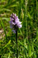 Par-ci par-là (PierreG_09) Tags: seix ariège pyrénées pirineos couserans occitanie midipyrénées flor flore fleur plante orchid orquidea orchidacée orchidée orchis orchisdefuchs