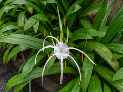 White Spider Lily, Singapore (Peter.Stokes) Tags: boat boating boats colour colourphotography flora flower flowersplants gardenbythebay landscape landscapes nature outdoors photo photography singapore sky whitespiderlily