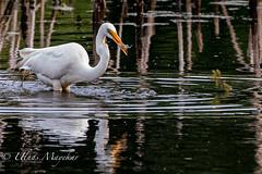 Great Egret with fish (mayekarulhas) Tags: philadelphia pennsylvania unitedstatesofamerica egret bird birds johnheinznaturereserve canon