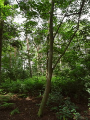 YWP Trees (LadyRaptor) Tags: yorkshirewildlifepark yorkshire wildlife park doncaster ywp nature outdoors summer time summertime warm sunny sunlight shade shaded british woodlands woods woodland ferns deciduous evergreen tall tree trees treetops green branches twigs undergrowth trunk trunks leaves