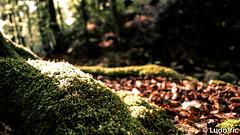 Spa, Géronstère (09) (Lцdо\/іс) Tags: spa géronster forest forêt mousse tree belgique belgium belgie ardennen ardennes ardenne wallonie wallone walk nature naturelle light sun lumière lцdоіс may mai 2019 europe europa