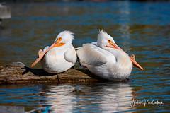 White Pelicans Taking a Break. (Let there be light (A.J. McCullough)) Tags: oregon birds pelican whitepelican klamathfalls upperklamathlake putnamspoint featheryfriday