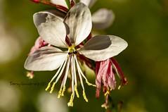 La Flor y la Hormiga. (tonygimenez) Tags: flor hormiga pétalos polen bokeh natur sony 90mm tubos naturaleza zaragoza aragon españa