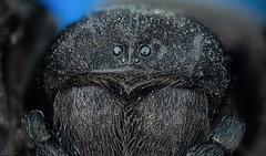Velvet Spider (Can Tunçer) Tags: can tunçer turkey turkiye türkiye tuncer tabletop stack stacking studio setup stand macro makro macros macrophotography micro mikro makros microscope microscop lomo lomo37 cantunçer cantuncer canon canon6d