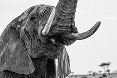 KENYA: EYE OF THE ELEPHANT (John C. Bruckman @ Innereye Photography) Tags: kenya maasaimarareserve grasslands elephants spiritualmeaning elephanttusks southafrica wisdomstrengthmoderationandeternity power stamina mentalfaculties longevity cooperativespirit loyalty moderation eternity coth coth5