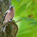 Common Chaffinch (m)