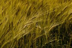 Wheat (Ekokat) Tags: wheat canon 7d mkii
