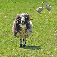 Einhorn.2 (rotraud_71) Tags: summer farm meadow nrw gutheimendahl sheep geese