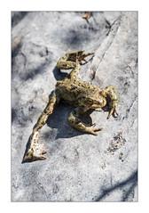 Erdkröte (Thomas Walkner) Tags: kröte erdkröte bufo schlumsee hagengebirge golling