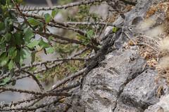 Stellagama (mad artichoke) Tags: canon eos 5d mark iv 4 stellagama lizard animal reptile nature outside outdoors 135mm zenit