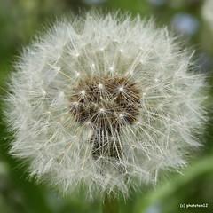 Pusteblume (phototom12) Tags: löwenzahn pusteblume blume dandelion