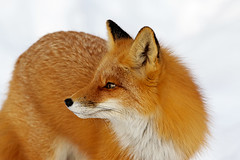 Closeup Portrait Of Female Red Fox (AlaskaFreezeFrame) Tags: fox redfox vixen cute nature wildlife outdoors canon telephoto alaska alaskafreezeframe animals mammals carnivore predator zorro sly snow frost winter beautiful gorgeous posing closeup portrait