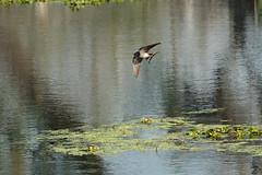 Caught in action (NA.dir) Tags: national park keoladeo bharatpur bird sanctuary sony rx103 rx10m3 birds birdsinflight flight
