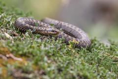 Kreuzotter (wsprecher) Tags: vipera berus schlangen wildlife kreuzotter ottern