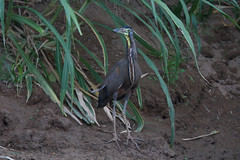 Bare-throated tiger heron (Byron Taylor) Tags: costarica arenal heron tigerheron barethroatedtigerheron wildlife