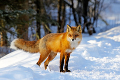 Male Red Fox (AlaskaFreezeFrame) Tags: fox redfox vixen cute nature wildlife outdoors canon telephoto alaska alaskafreezeframe animals mammals carnivore predator zorro sly snow frost winter beautiful gorgeous posing closeup portrait male