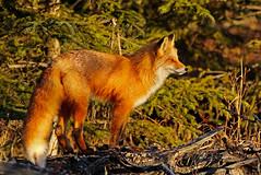 Sunrise Shot Of The Little Female After Most Of The Snow Was Gone (AlaskaFreezeFrame) Tags: fox redfox vixen cute nature wildlife outdoors canon telephoto alaska alaskafreezeframe animals mammals carnivore predator zorro sly snow frost winter beautiful gorgeous posing closeup portrait sunrise