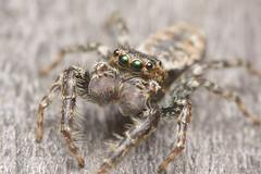Green Eyes (Rich Lukey) Tags: cute spider jumping insect nikon d7100 sigma 105m macro closeup flash extension achromat homemade diffuser arachnid eyes hunter hairy predator furry