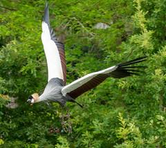Avifauna (johan wieland) Tags: johanwieland 2019 alphenaanderijn avifauna kroonkraanvogels