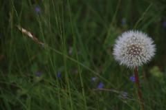 dandelion (mgheiss) Tags: dandelion löwenzahn canoneos80d ruhestein schwarzwald tamron16300mm blackforest mittelgebirge