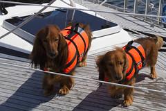 20110614 - 144320 - IMG_5494 - Henriks 7D (Susanne & Henrik Dunér) Tags: dog cane sobaka cobaka perro cão hund chien gou kalb