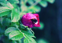 Rosechip  flower, now with a visitor :) (erlingraahede) Tags: flower green bee summer canon vsco