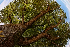 The patriarch - Le patriarche (Sebastien Vermande (Only the Weekend)) Tags: canon100d france midipyrénées arbre tree samyang8mm fisheye vermande