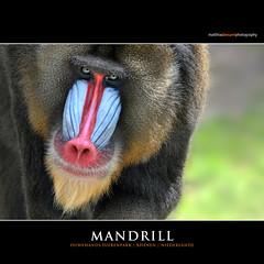 MANDRILL (Matthias Besant) Tags: affe affen affenfell animal animals ape apes fell mammal mammals monkey monkeys primat primaten saeugetier saeugetiere tier tiere schauen blick blicken augen eyes look looking zoo tierpark dierenpark ouwehandsdierenpark rhenen niederlande matthiasbesant