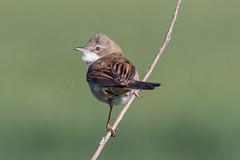 Whitethroat (robin elliott photography) Tags: whitetroat bird birds birding birdwatch