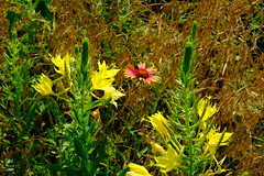Wildflower Jungle (Gene Ellison) Tags: nature plant wildflower columbine buds yellow petals green stalk firewheel gaillardia grass undergrowth naturephotography fujifilm velvia sooc natural photography texas spring 2019