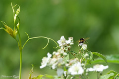 Bourdon terrestre Bombus terrestris (Ezzo33) Tags: bourdonterrestre bombusterrestris france gironde nouvelleaquitaine bordeaux ezzo33 nammour ezzat sony rx10m3 parc jardin insecte insectes