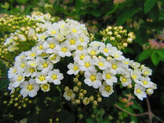 IMG_6838 6-9-2019 (PGK88) Tags: flowers small white blooming blooms blossoms beautiful spring springtime nature outdoors plant shrub garden sunlight sunlit 2019 closeup