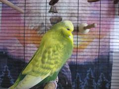 Riko (✿ Esfira ✿) Tags: wellensittich budgerigar budgie parakeet riko