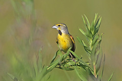 Dickcissal (Alan Gutsell) Tags: dickcissal birds bird texas texasbirds alan nature wildlife anahuacnationalwildliferefuge anahuac summer migration wetlands grass praire songbird