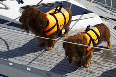 20110614 - 144322 - IMG_5495 - Henriks 7D (Susanne & Henrik Dunér) Tags: dog cane sobaka cobaka perro cão hund chien gou kalb