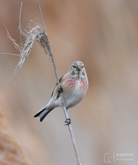 Linnet (mikedenton19) Tags: linnet linaria cannabina linariacannabina staidans nature reserve naturereserve wildlife rspb yorkshire westyorkshire leeds finch bird