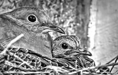 Dove and 3-day old chick (stevebfotos) Tags: select dove bird chick bw beach lewes delaware sussex