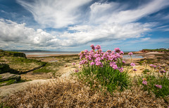 Sea Thrift (Rob Pitt) Tags: sea thrift west kirby hilbre island spring flowers polarising filter wirral sony a7rii canon 1740
