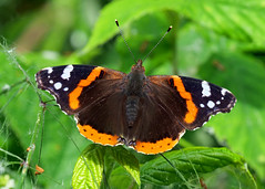 Red Admiral Butterfly (Nigel B2010) Tags: butterfly red admiral wildlife nature countryside attenborough nottinghamshire june