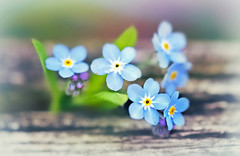 Don't you forget about me... (Through Serena's Lens) Tags: myosotis forgetmenot blue botanical dof bokeh macro plant floral flower outdoor naturallight naturephotography canoneos6dmarkii