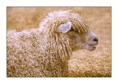 Animal Farm (Christina's World!) Tags: 6449 sheep lamb sandiegocountyfair california textures animal farmanimal farm auction countyfair bokeh fur curlyhair exhibittalent peiser ewe