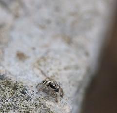 araignée (LiliFlora11) Tags: araignée sauteuse salticidae aracnide nature macro