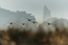 Five Birds (George Plakides) Tags: birds ducks lowflying richmondpark sigma150600mmsport