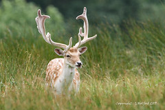Attingham Park Deer II (Holfo) Tags: nationaltrust attinghampark deer shropshire stag nikon d750 natural wildlife nature relaxed serene beautiful