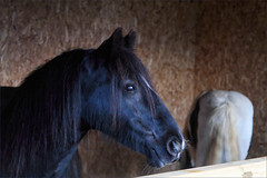 Mum and Son (meniscuslens) Tags: royal windsor show berkshire horse pony mare eve gabriel trust charity rescue