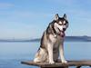 Koji (ddouangc) Tags: siberian husky huskies dog dogs park point isabel
