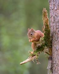 Little Red Nibbler (ttarpd) Tags: norway flatanger lauvsnes olemartindahle norwaynature wild wildlife nature europe eurasian red squirrel redsquirrel sciurusvulgaris sciurus vulgaris arboreal omniviorous rodent animal