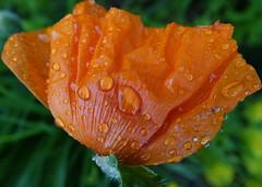 raindrops (Ian Robin Jackson) Tags: raindrops flower macro aberdeenshire flowers flora red sony zeiss poppy orange outside spring june focus waterdrops green bokeh